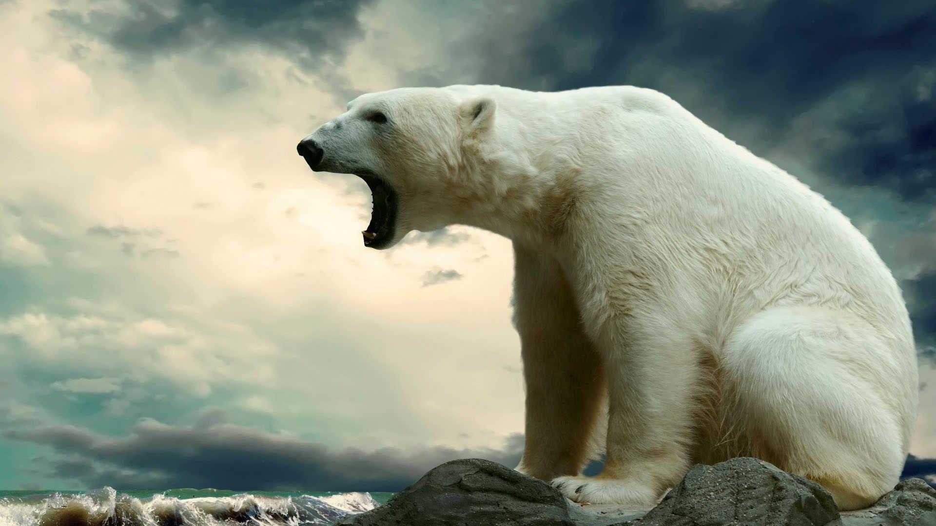 Polar Bear HD Wallpaper White | hanimal | Polar bear ...