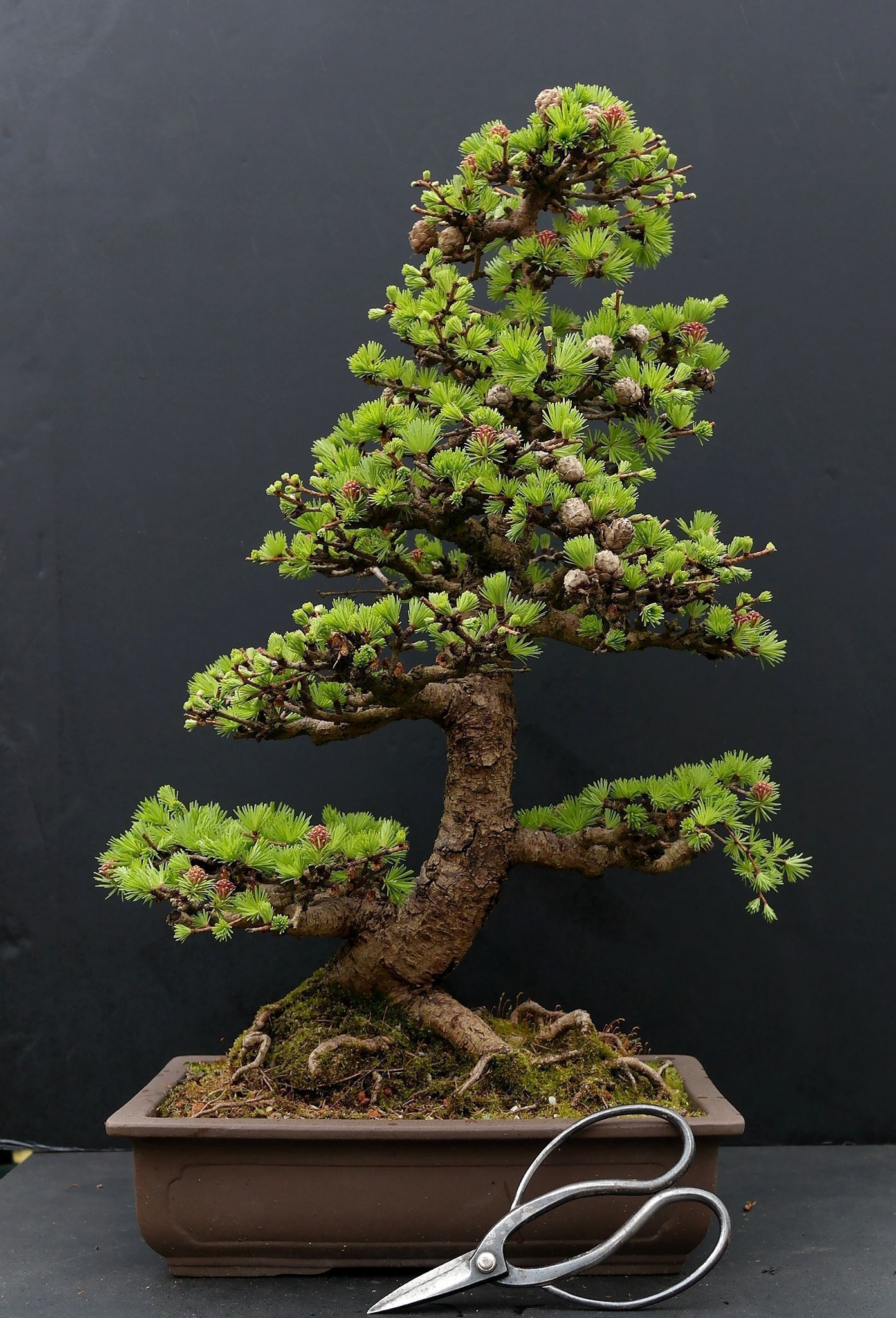 What is the best indoor bonsai tree for beginners