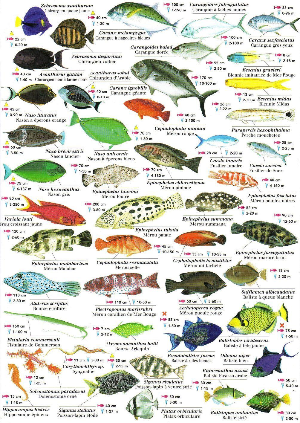 Les poissons de la mer rouge animaux aquatiques - Grand poisson de mer ...