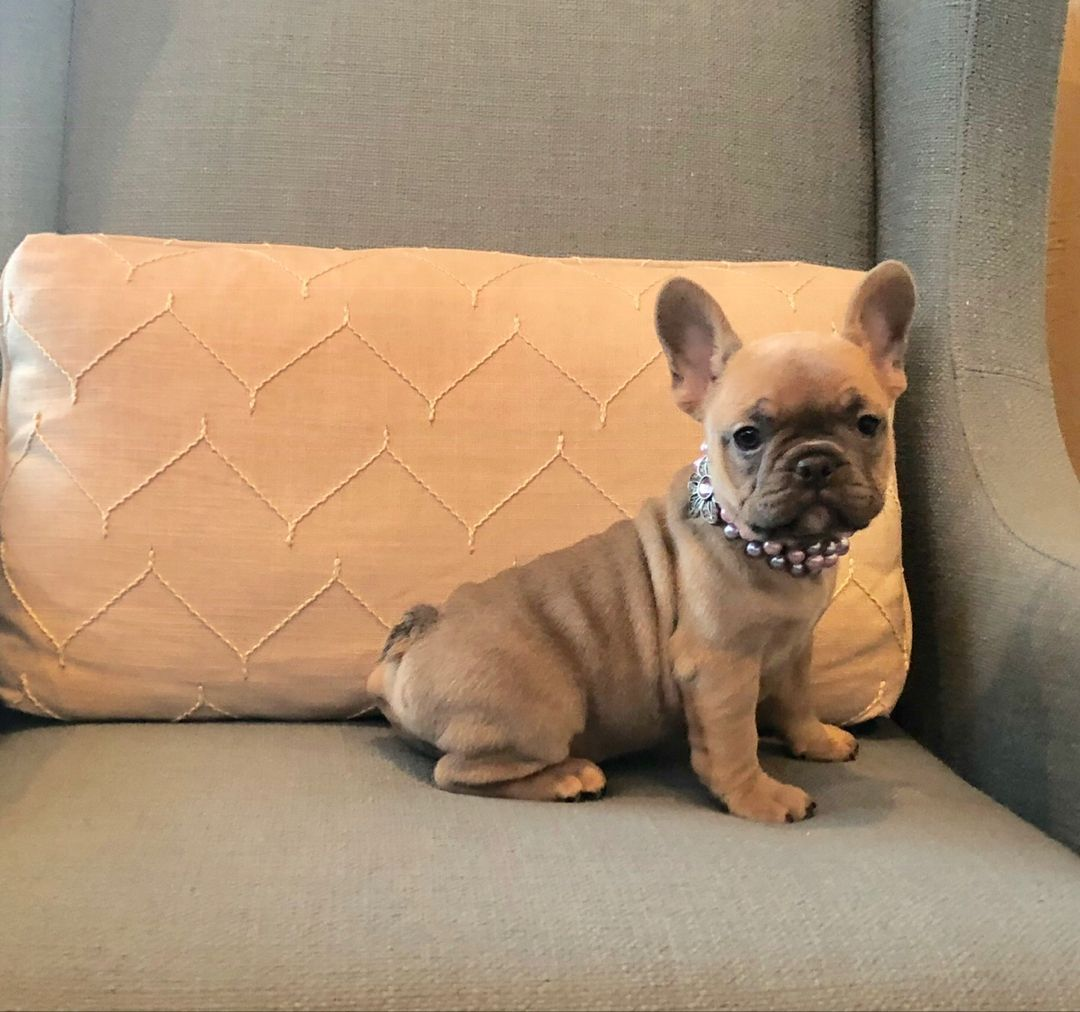 Blue Fawn Frenchie Bulldogpuppies French Bulldog Puppies