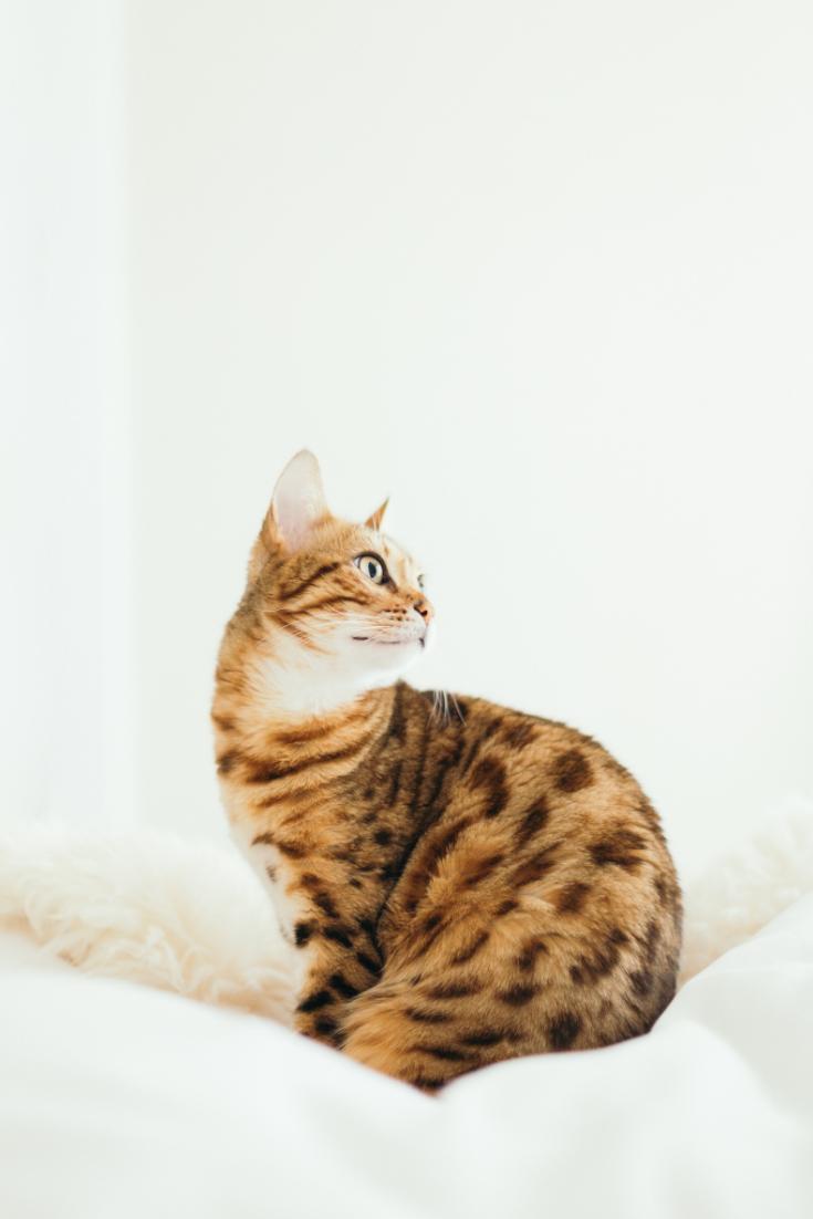 Le Bengal Est Issu Du Croisement Entre Un Chat Domestique Et Un Chat Sauvage Du Bengal Le Chat Leopard Fond D Ecran Mignon Chat Chat Leopard Fond D Ecran Chat
