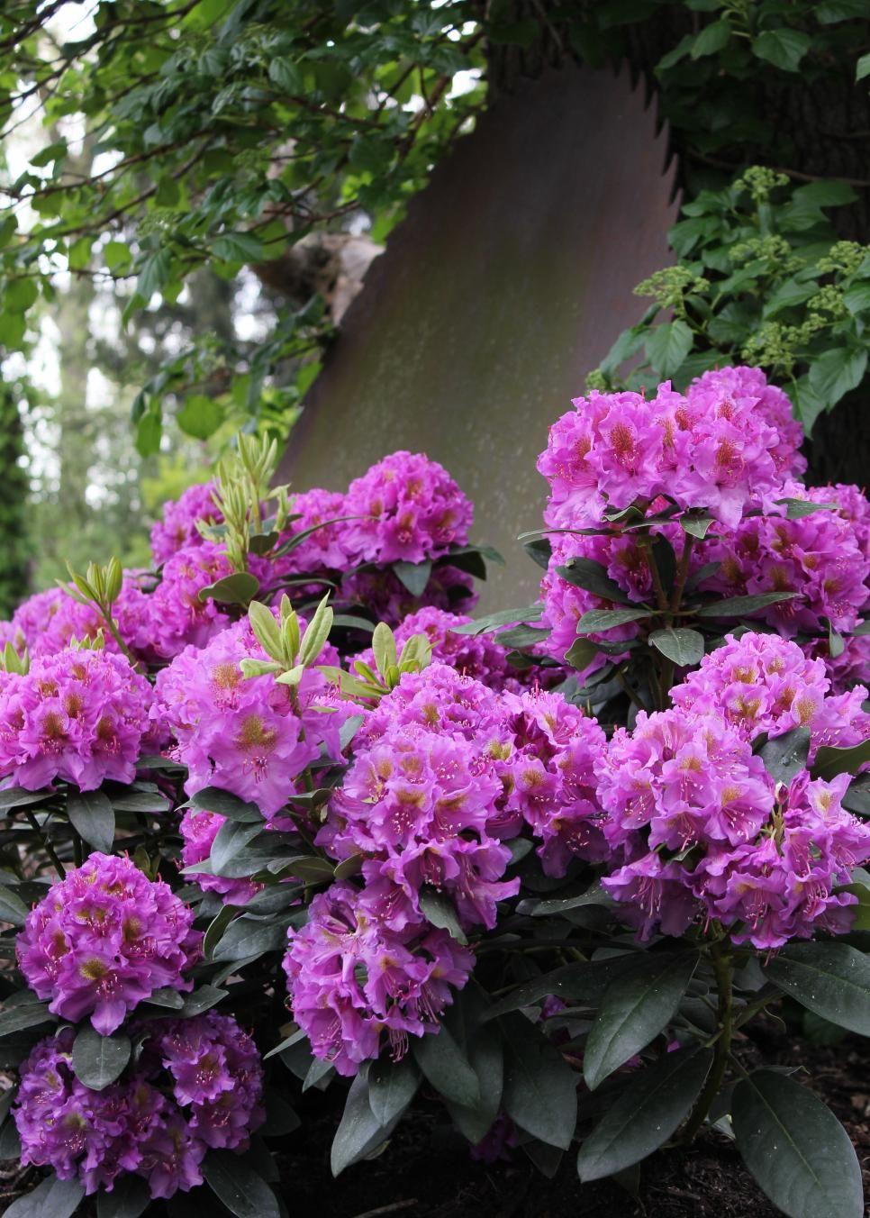 flowering shrubs shade gardens