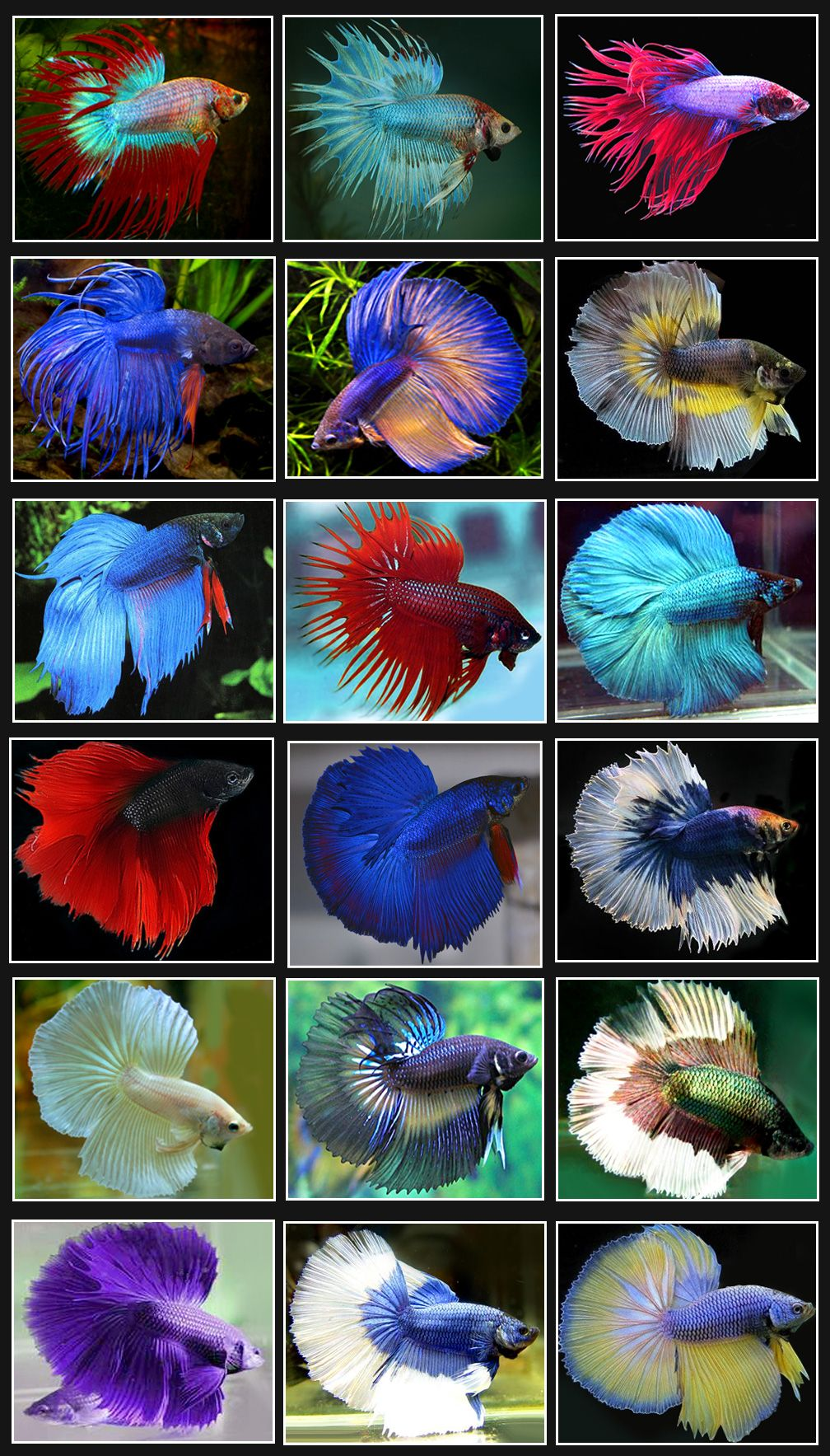 Betta fish or siamese fighting fish are found mainly in for Names for betta fish