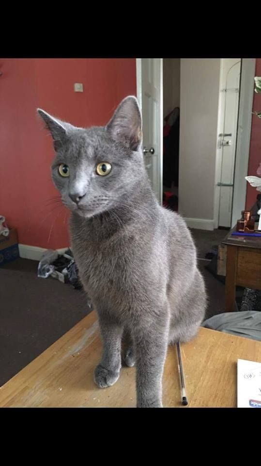 Ollie Is A Russian Blue Cat Who Went Missing From Duke Of York Cottages Port Russian Blue Cat Russian Blue Cat Call