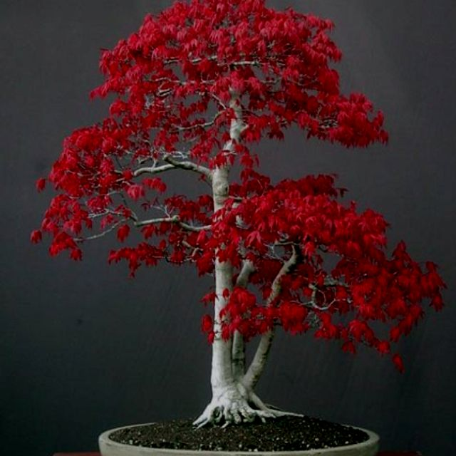 Pin By Hana Russell At Flame Point St On Nerd Herder Japanese Maple Bonsai Maple Bonsai Red Maple Bonsai