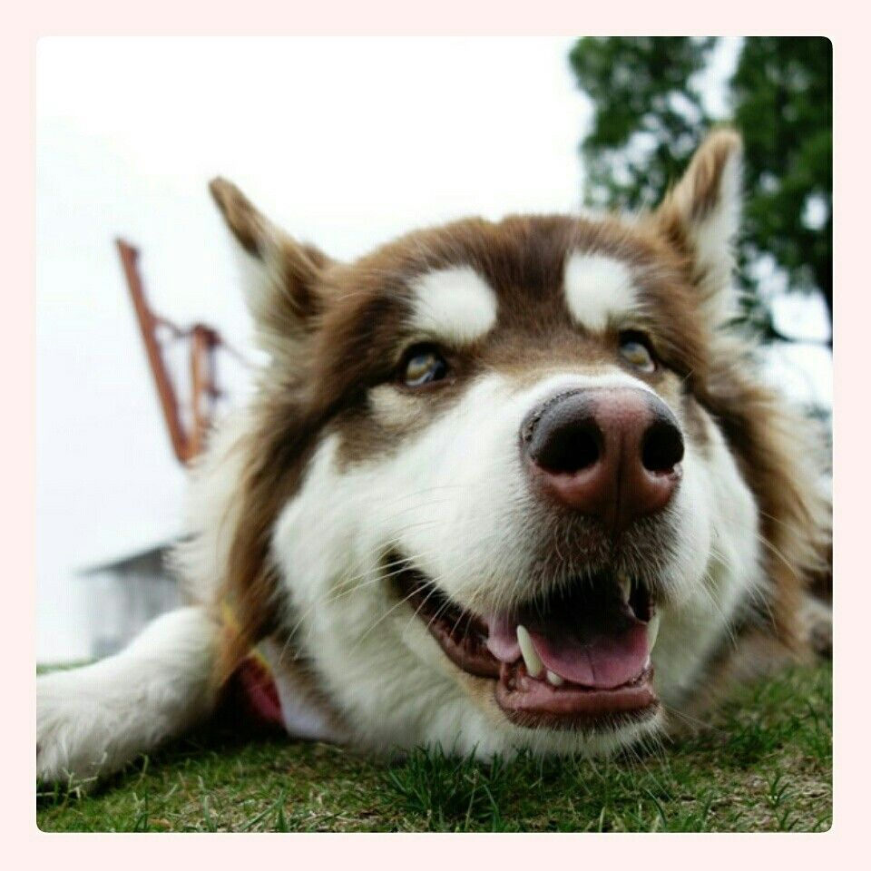 Follow Our Instagram Pomskydognet Pomsky Dog Pomsky Puppies Pomsky Breeders