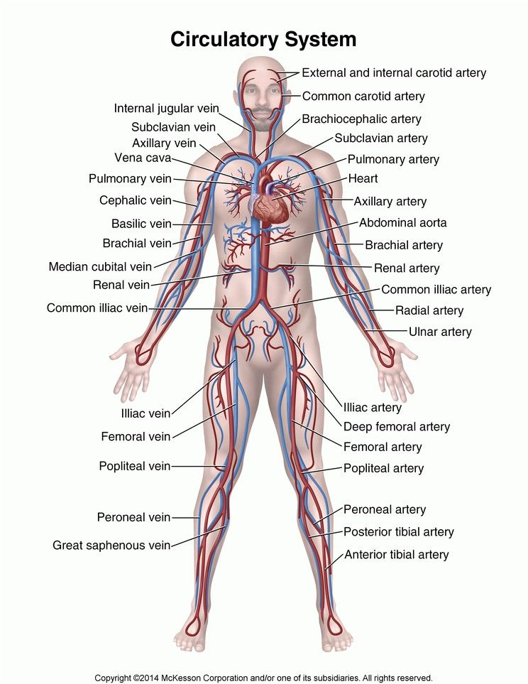 Anatomy Brachial Veins Diagram - Introduction To Electrical Wiring ...
