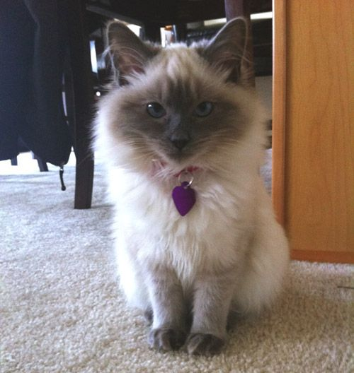 Ragdoll Cat Breeder Ragdoll Cat Ragdoll Cat Breeders Cats Ragdoll Cat Breed