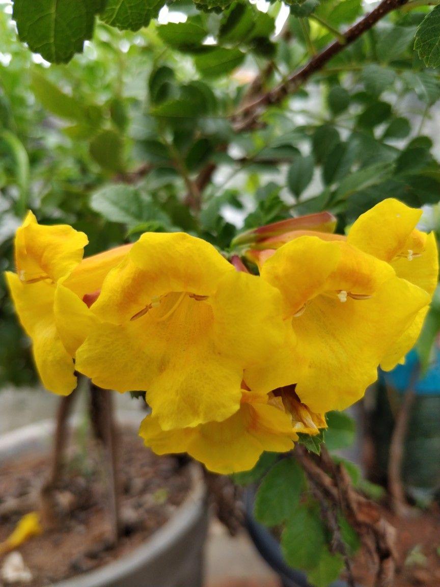 Bell Shaped Flowers Srinavaratna Terrace Garden Pinterest