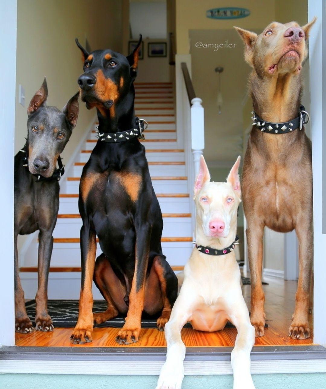 Pin De That Crazy Sarah En Dog Doberman Perros Doberman Razas De Perros Perros Agresivos