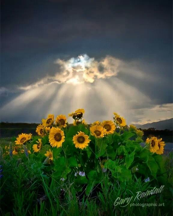 It's going to storm. But before it does, what an eyeful! Sunflowers are the most lovely of carpeting!