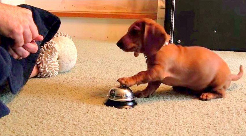 Man Training Puppy Creates Bell Ringing Monster Puppies