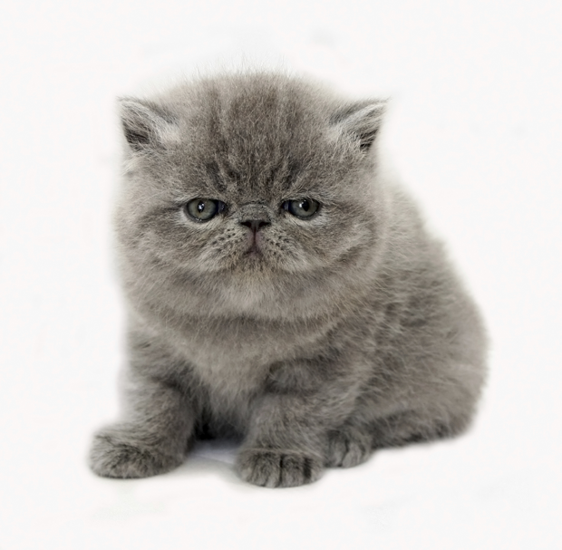 13 types of fluffy cat breeds complete guide to care