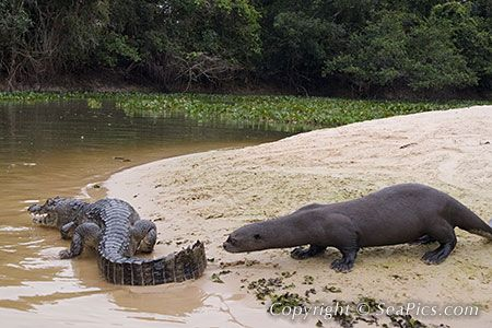 Giant Otters Caiman Piranas The Pantanal Brasil Otters Giant River Otter Caiman