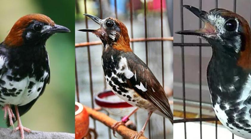 Download Kumpulan Suara Anis Kembang Lengkap Mp3 Burung Kalimantan Betina
