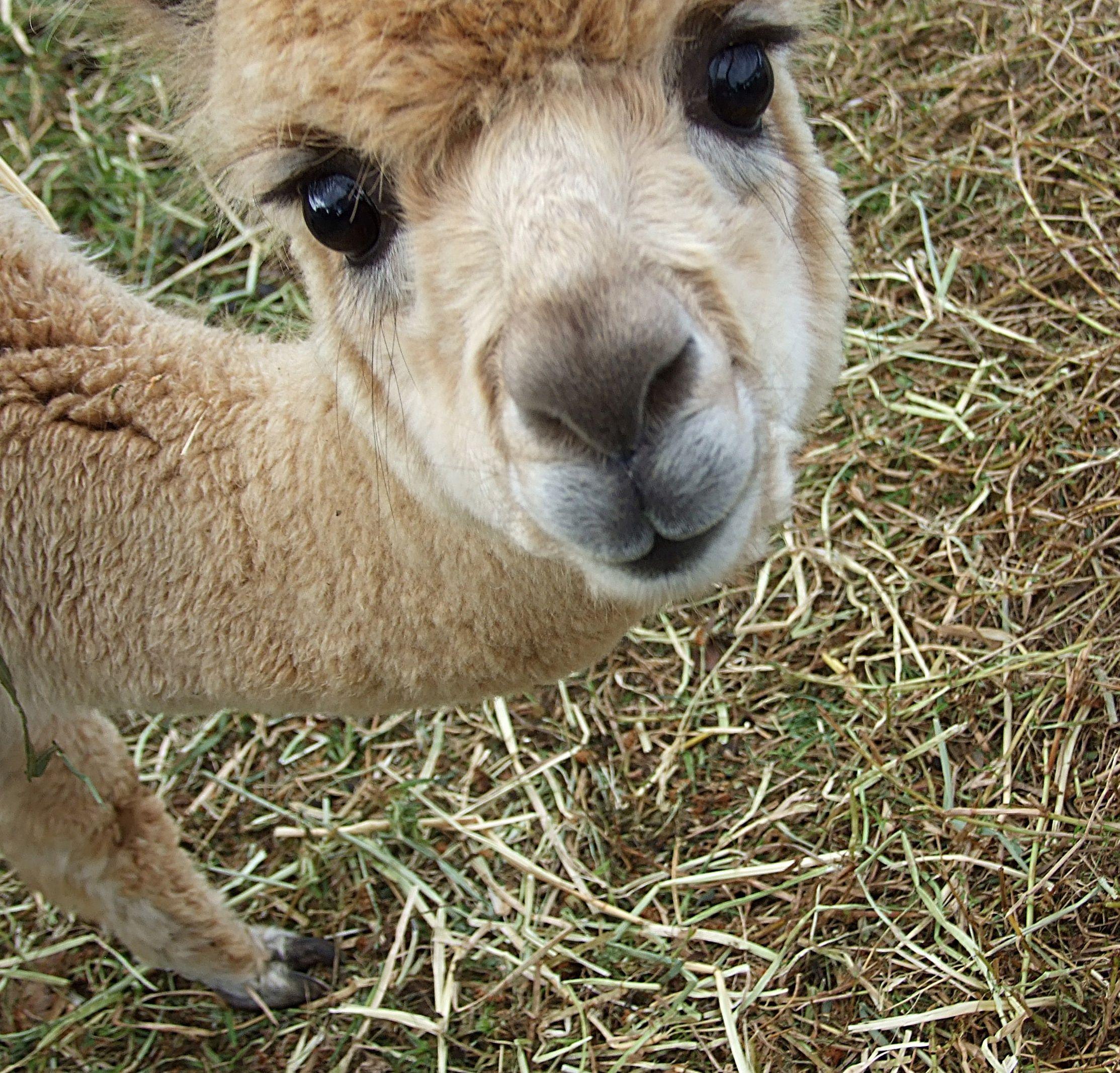 "Baby Alpaca | ""Makes me smile"" | Pinterest | Baby alpaca ..."
