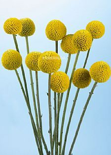 Craspedia Billy Buttons Wholesale Flowers Wholesale Flowers Wedding