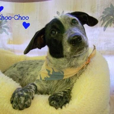 pictures of dachsand/austrailan cattle dogs | Dog ready for adoption: Dachshund / Australian Cattle Dog/Blue Heeler ...