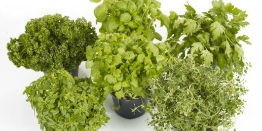 SUNT OG GODT: Krydderurter er ikke ment å være pynt på kjøkkenbenken, men skal spises i store mengder og kan brukes i all slags mat.