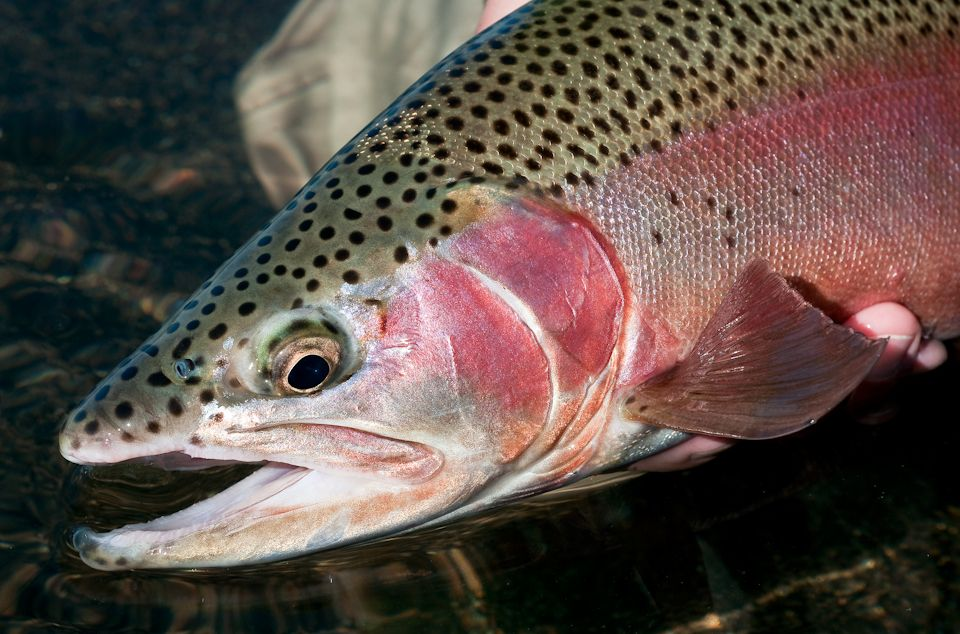 Rainbow Trout Pictures Free | Nearing Season's End | Trout ...