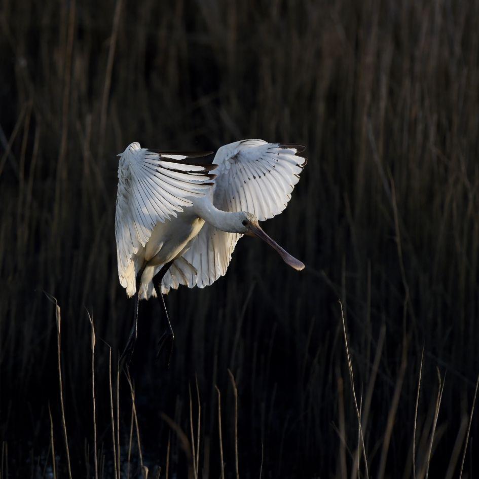 lepelaar - Vogels -