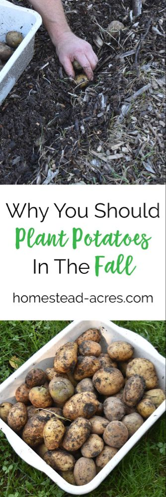 Planting Potatoes: How To Plant Potatoes In The Fall