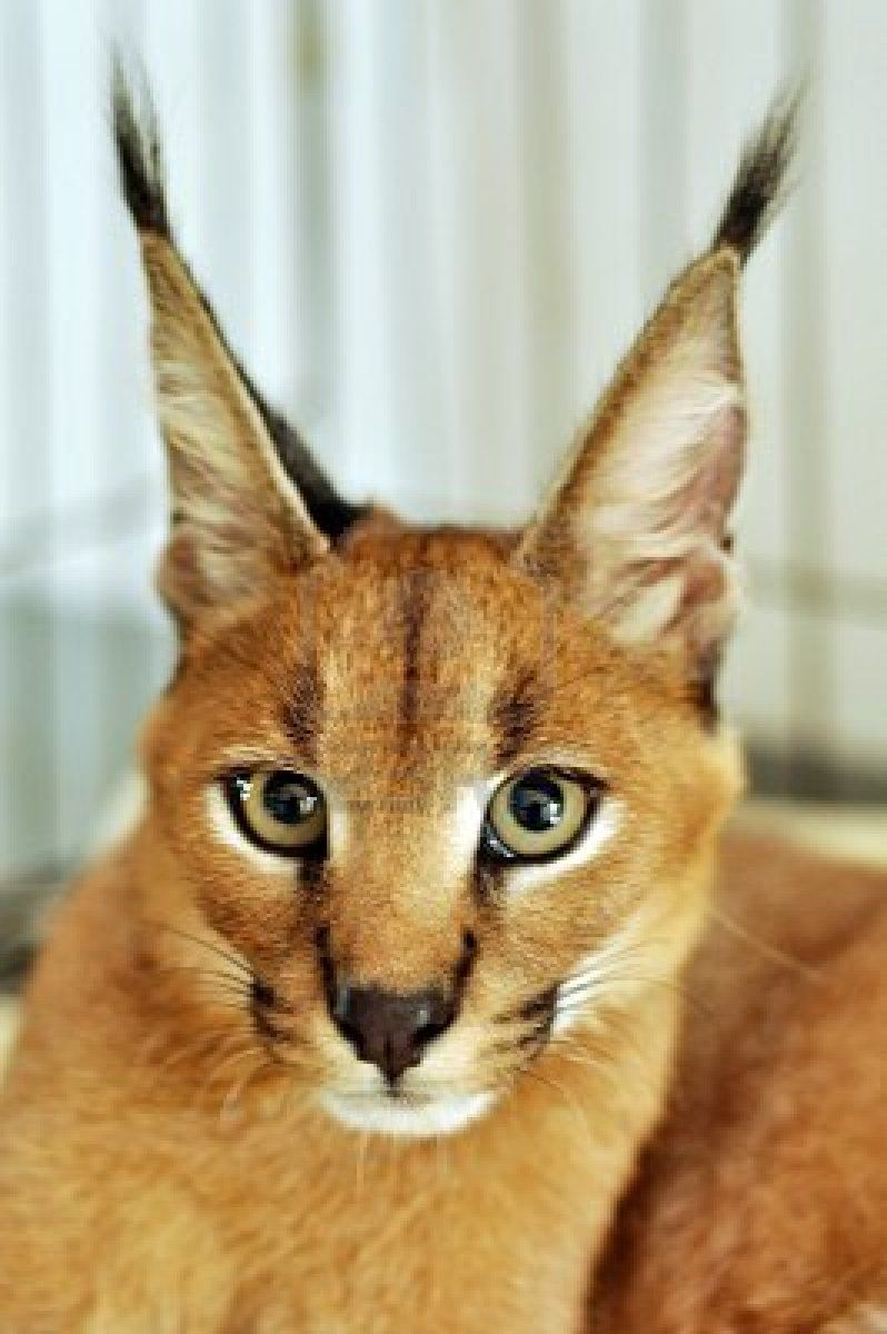3 Caracal Cat | Animals | Pinterest | Caracal cat, Caracal and Cat