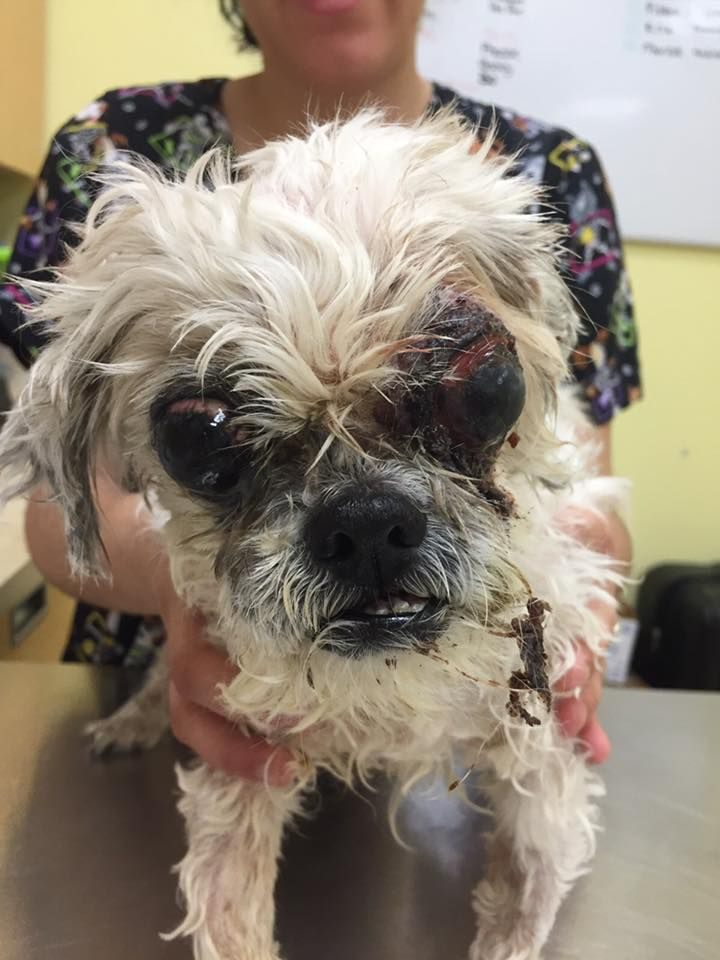 SAFE 4-23-2016 by Rescue Dogs Rock NYC --- SUPER URGENT Manhattan Center DAY TRIPPER – A1071140  SPAYED FEMALE, WHITE, SHIH TZU MIX, 10 yrs STRAY – STRAY WAIT, HOLD RELEASED Reason STRAY Intake condition GERIATRIC Intake Date 04/22/2016  https://m.facebook.com/story.php?story_fbid=1076002039147218&substory_index=0&id=566667286747365&refid=17&_ft_=top_level_post_id.1076002039147218%3Atl_objid.1076002039147218&__tn__=%2As