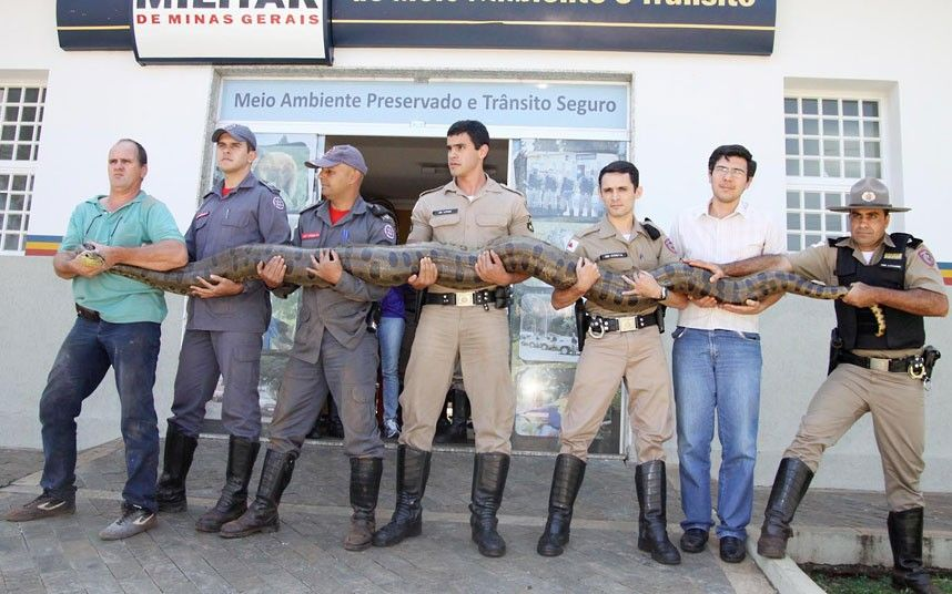 A four-metre anaconda snake is captured by Environment Police and firefighters in a rural area of Minas Gerais state, Brazil.