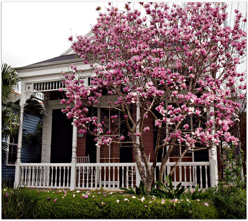 Japanese Magnolias In Bloom Would Love To Plant Some Of These In My Future Yard Magnolia Gardens Front Garden Landscape Japanese Magnolia