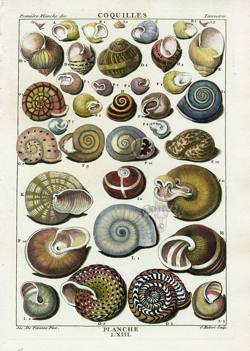 :: Shell Prints from La Conchyliologie by Dezallier d ...
