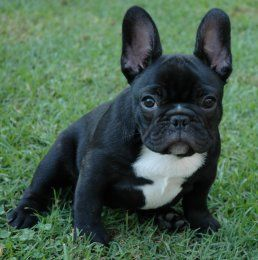 Highwood Rottweilers French Bulldogs French Bulldog Puppies French Bulldog Cute Animals