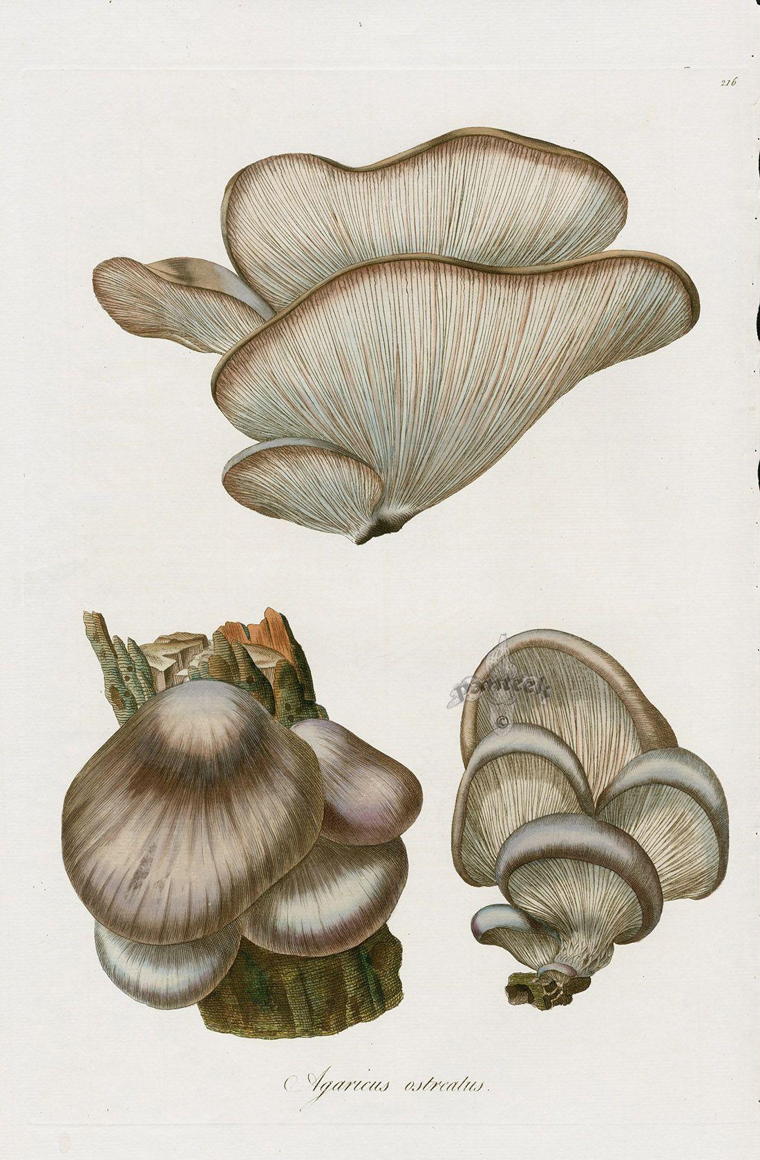 Agaricus ostrealus mushroom from Curtis Flora Londinensis ...