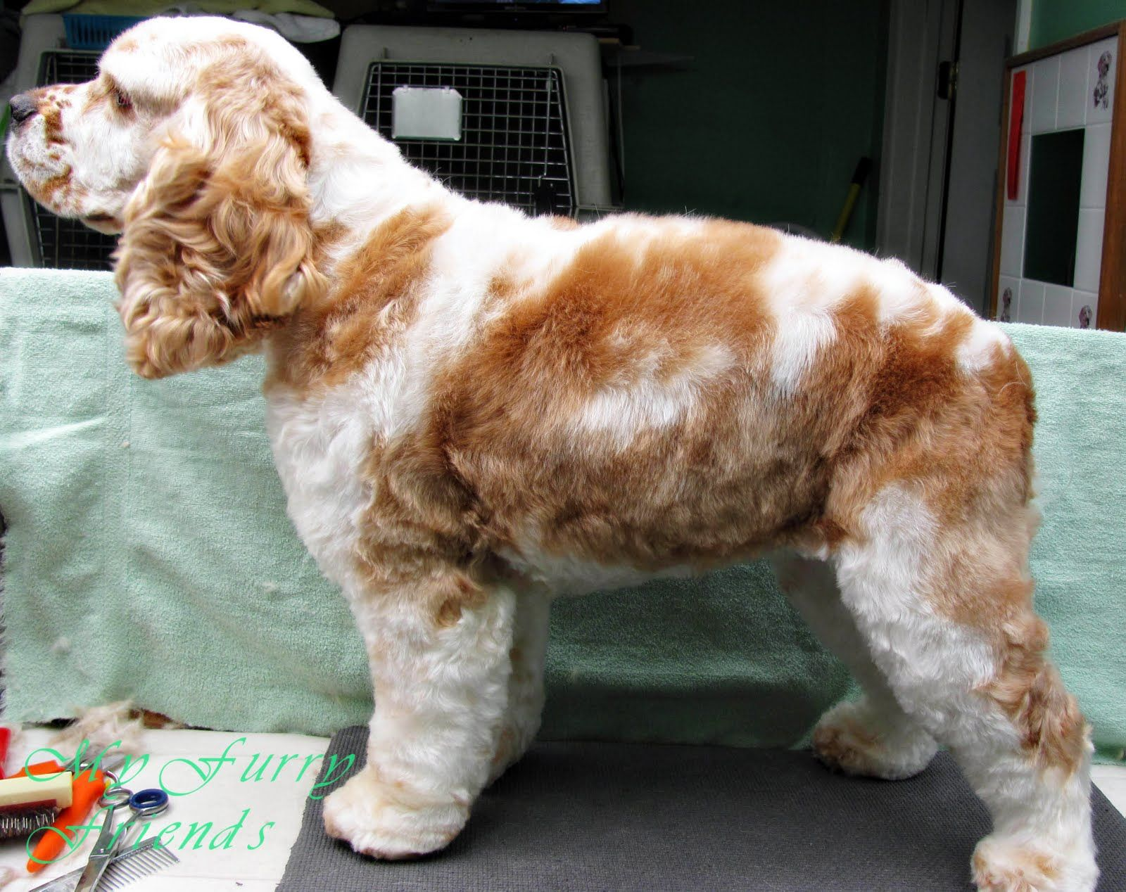 how to groom a cocker spaniel pet grooming the good the bad the furry puppy cut 9878