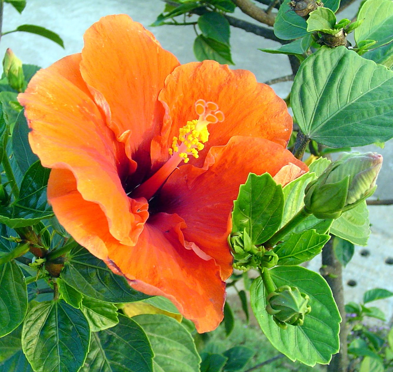 Hibiscus orange flowers pinterest hibiscus evergreen and hibiscus flower meaning delicate beauty tatoo idea izmirmasajfo