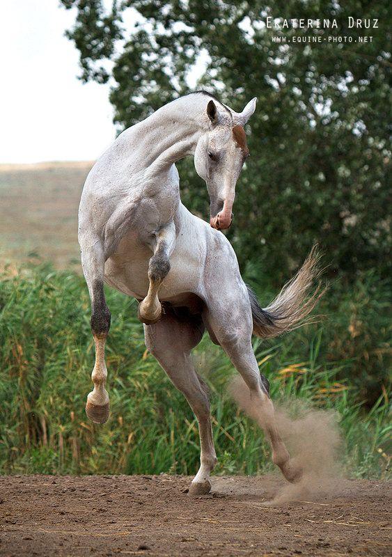 (Мургаб-Пампа). Ставропольский конный завод | Фотографии ...