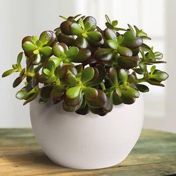 Louis Proof Crassula Ovata Minor Jade Plants Crassula Ovata
