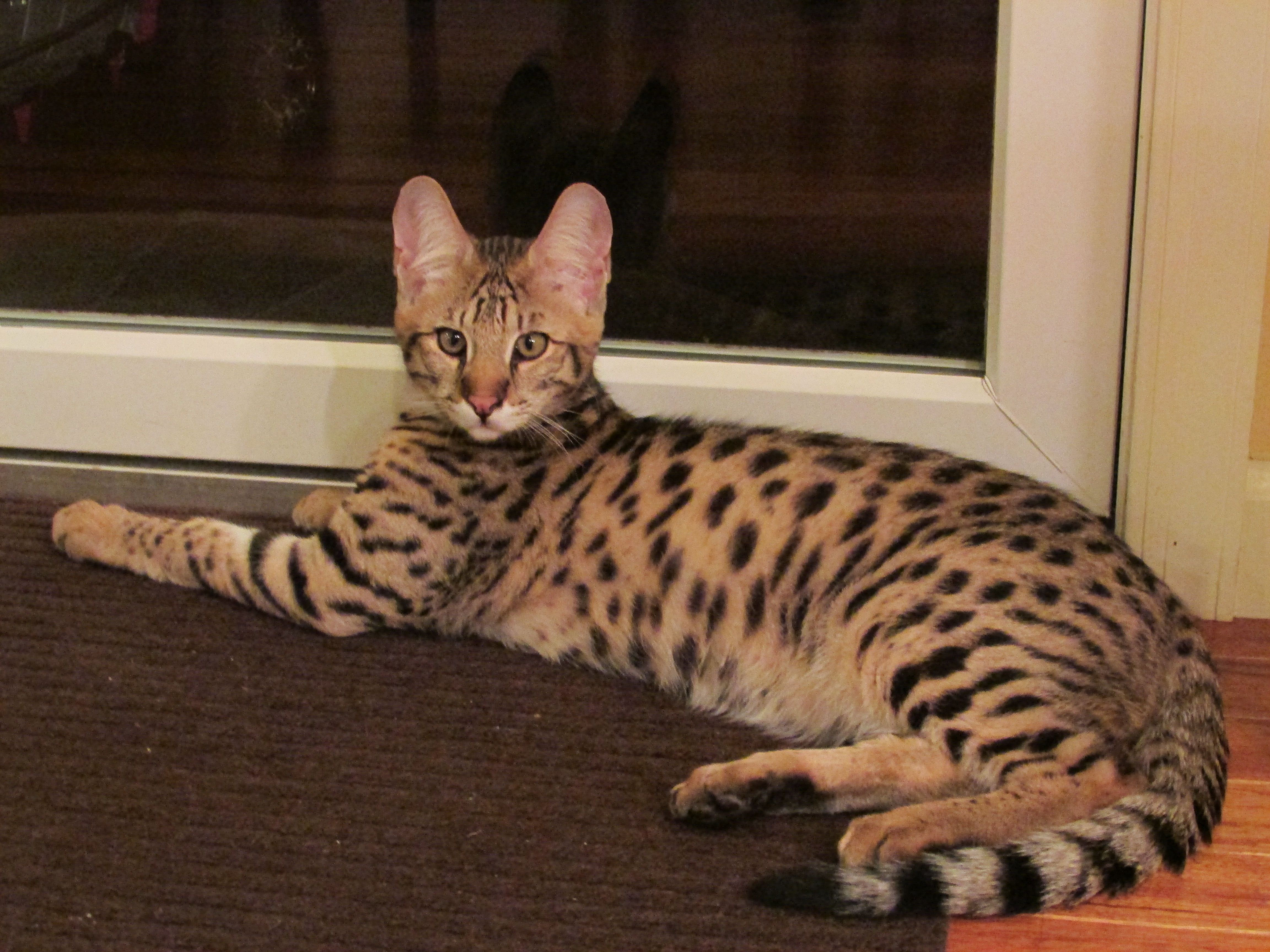 5 Month Old F2 Savannah Kitten Barrington Relaxing In His New Home Contact Me To Own Your Own Stunn Savannah Kitten Savannah Cat For Sale Kitten Wallpaper