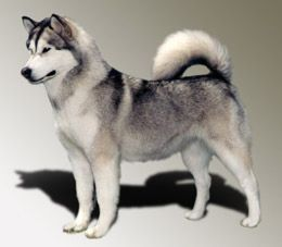Perfect Alaskan Malamute This Color Looks Like Wolf Gray