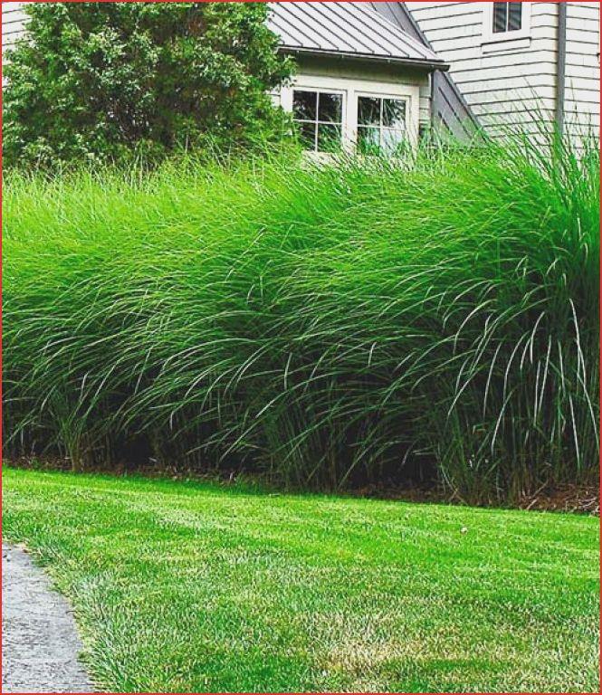 Garten Design 26 Das Beste Von Sichtschutz Pflanzen