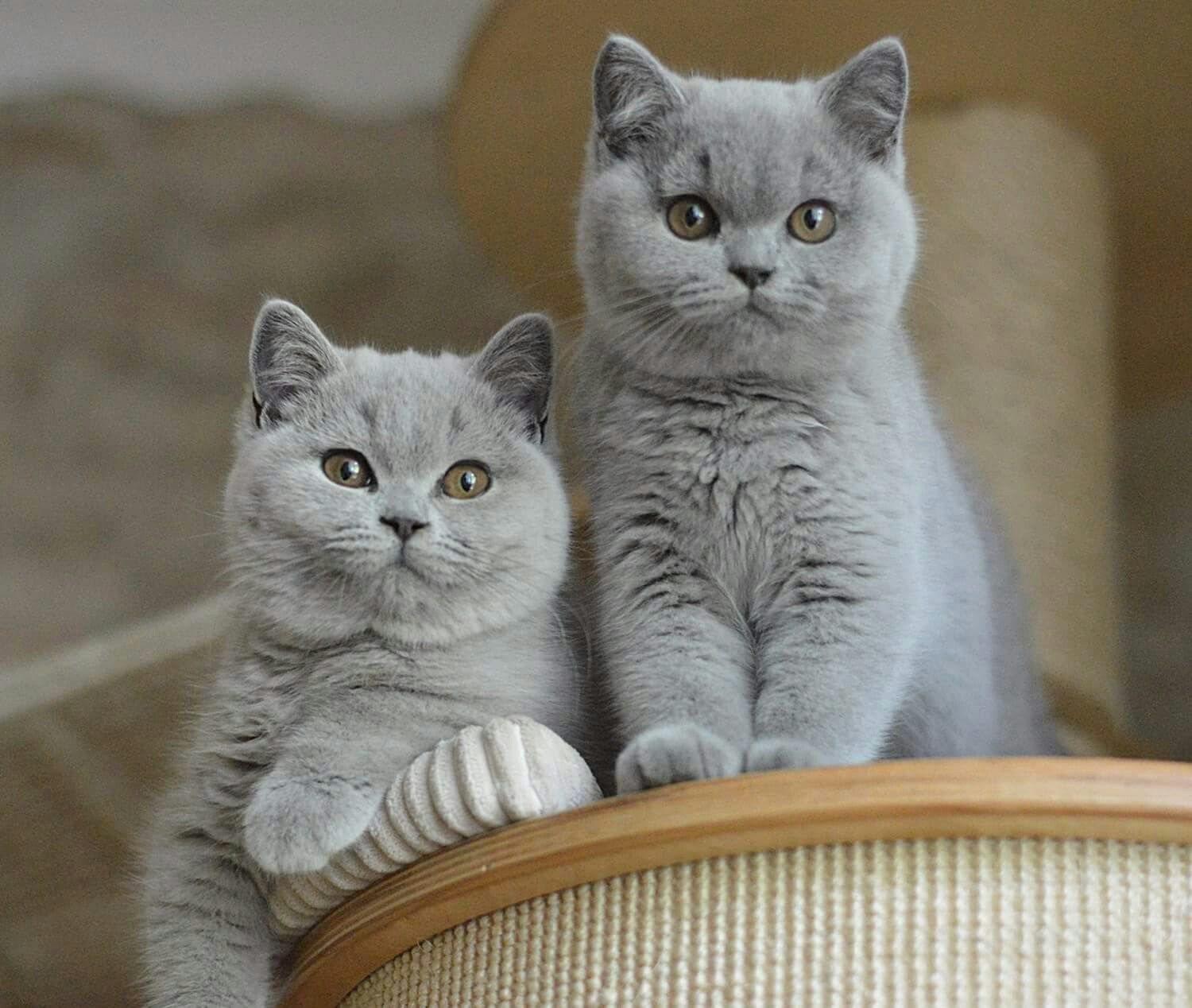 6 Large Domestic Cat Breeds With Wild Relatives Pixie