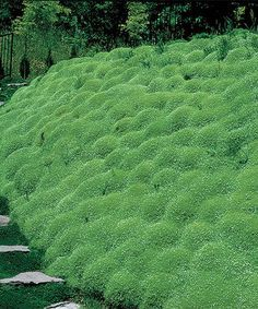 Irish Moss - a low-maintenance way. Eye-catching white flowers during the blooming season. - Grows to 2'' to 4'' H - Perennial - Bloom period: mid spring - Full to partial shade - Hardiness zones: 3 to 9