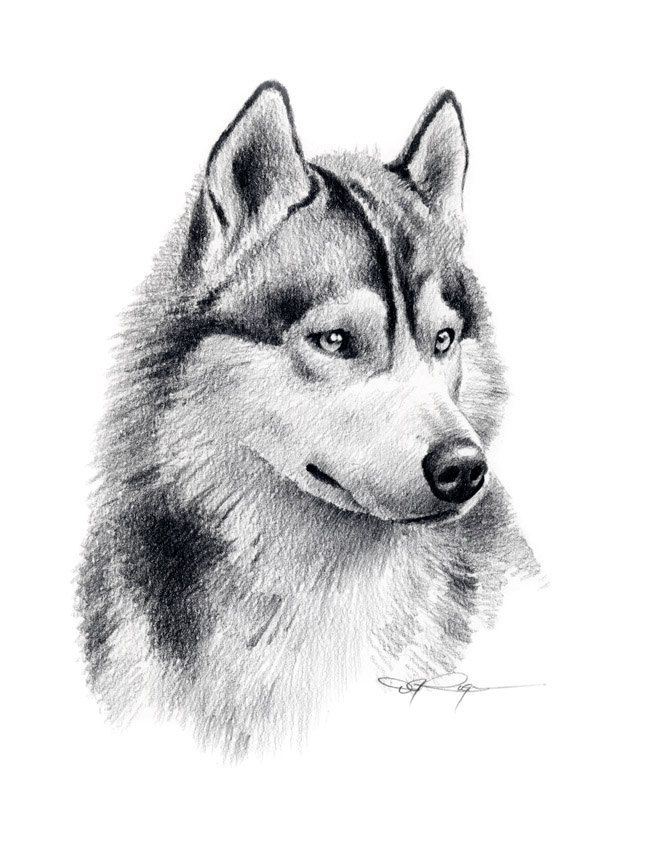 Realistic Dog Drawing Step By Step pencil drawing siberia...