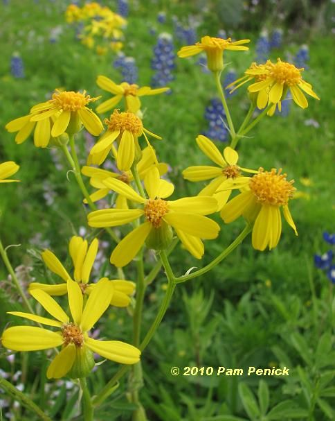 Wildflower Safari In The Hill Country Yellow Wildflowers Like