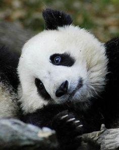 Panditas Pandas Panda Bar Tiere