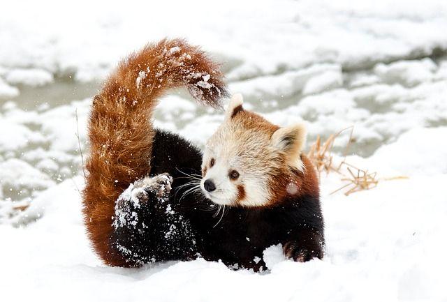 Kostenloses Bild Auf Pixabay Chinesischer Panda Roter Panda Roter Panda Susseste Haustiere Niedliche Tierbabys