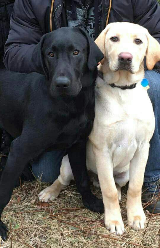 Pin By Becky Cagwin On Animals Hot Diggity Dogs Cute Dogs Labrador Dog Dog Person