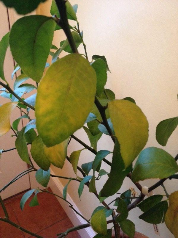 yellowing leaves lemon tree indoors
