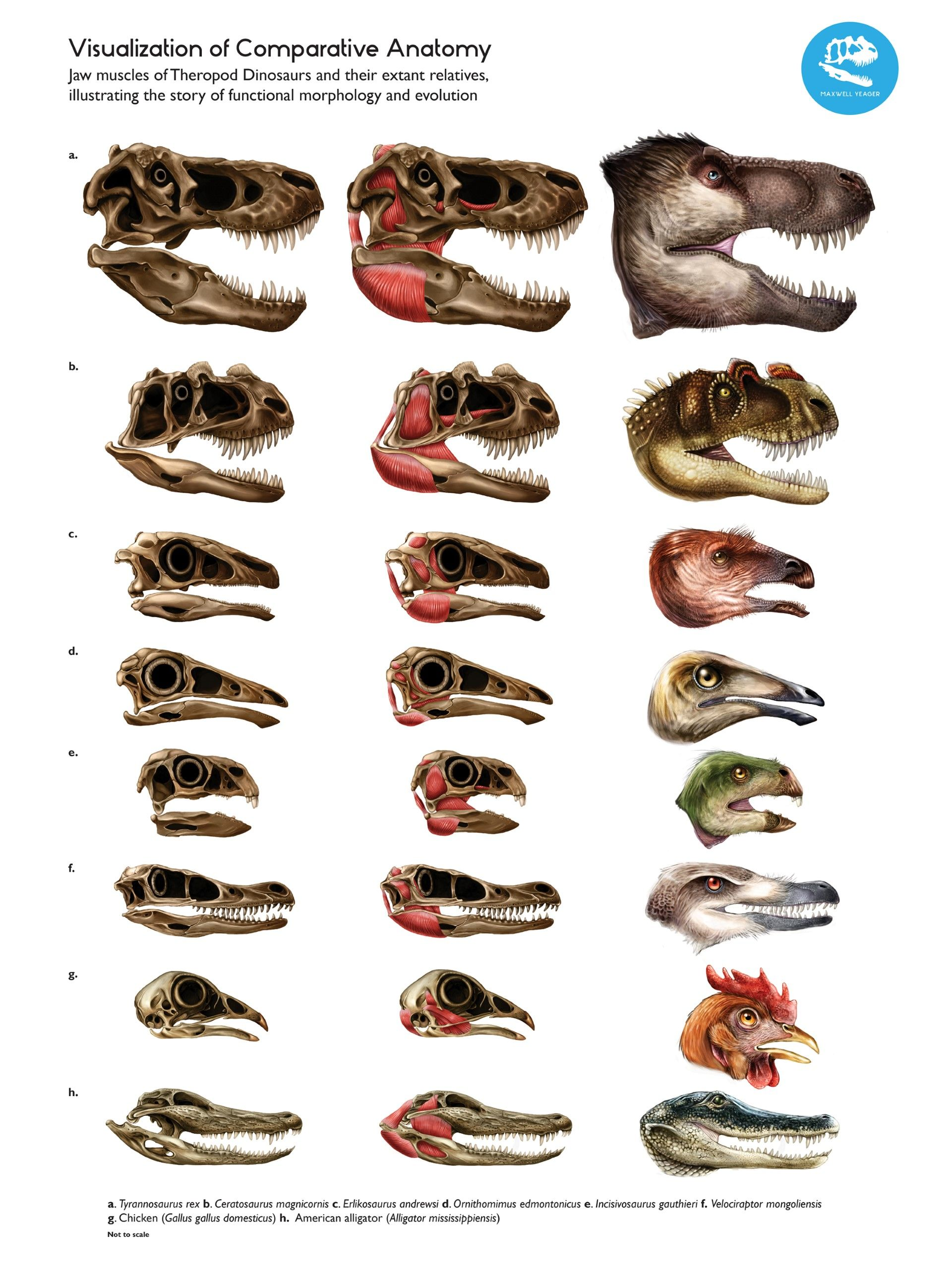 Jaw Anatomy of Theropods and Relatives | biomed illustration- good ...