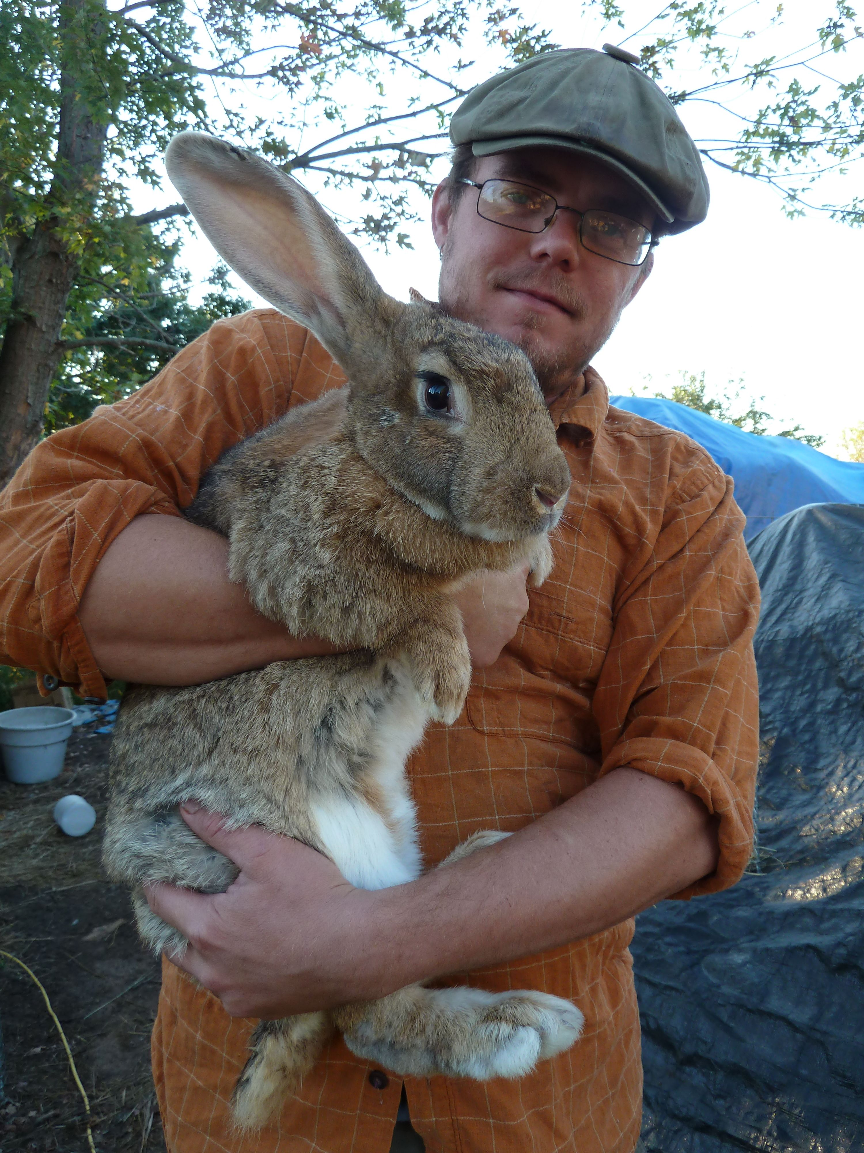 flemish giant rabbits Sandy, a Flemish GIANT rabbit in